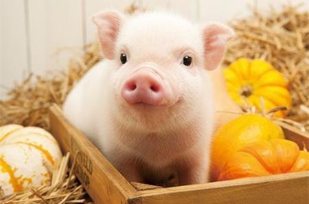 2017年12月11日(20至30公斤)仔猪价格行情走势