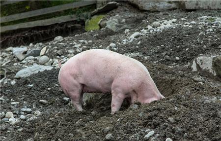 猪价迎来上涨小高潮,养猪户做好这几点才能守住钱袋子