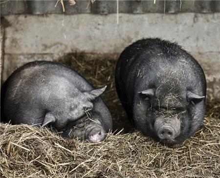 养猪户压栏后还要再压栏,猪价就能再起来?