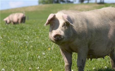 截止目前,全国瘦肉型猪出栏均价已涨至15元/公斤附近