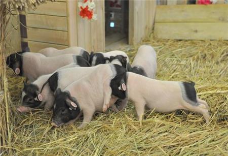 养猪技术,养猪人总结治病偏方,治病少花钱效果好
