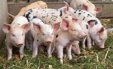 隔壁村老王饲养初生仔猪的方法,10年没死一头猪