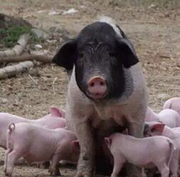 生猪环保成为常态 没有最狠只有更狠