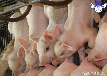 母猪的乳汁对仔猪有多重要?可不仅仅是填饱肚子那么简单!