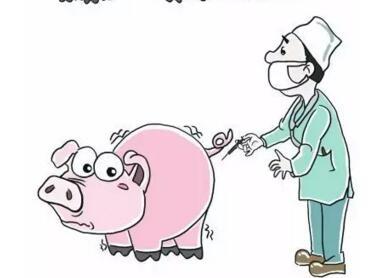 猪瘟疫苗可以打怀孕母猪吗?!