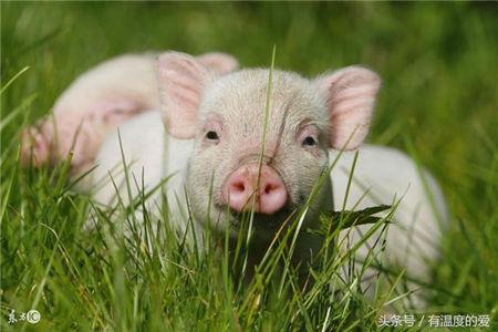 引起猪低温症的原因以及治疗方法