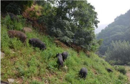 巴布里生态黑猪:用6000亩山林散养出纯天然绿色黑猪
