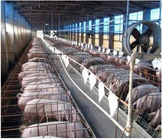 散养户数量逐日减少,养猪集约化时代已经到来