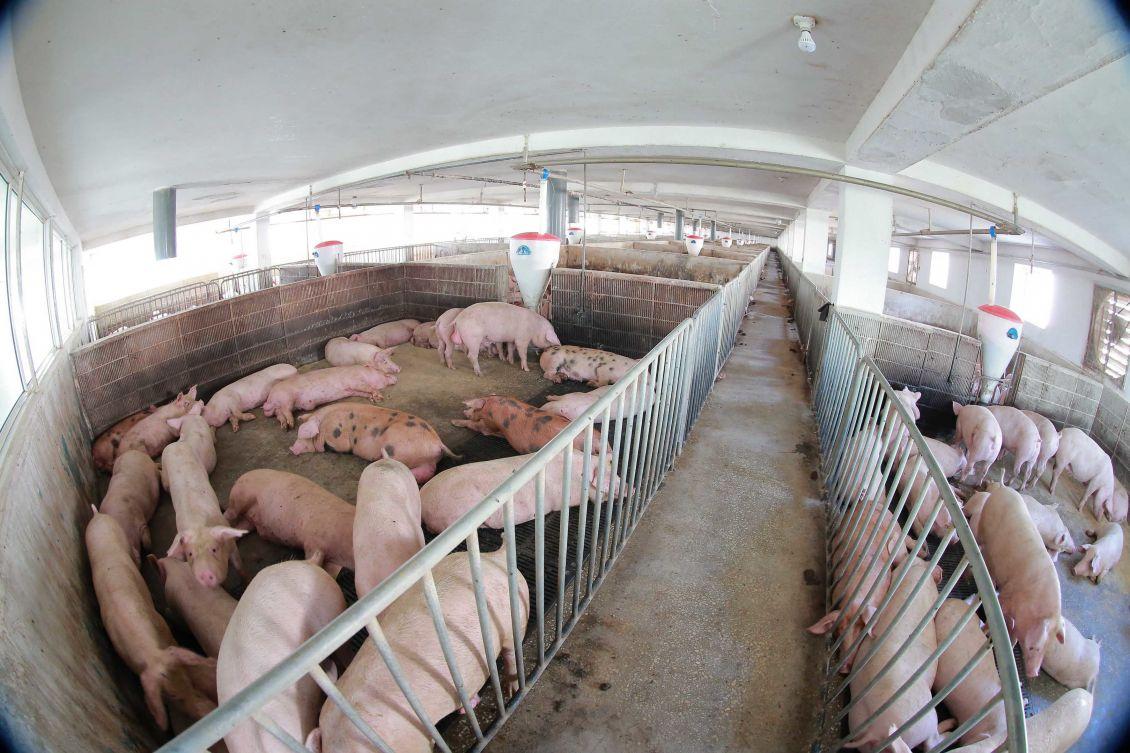 随着时代发展,我国养猪行业有哪些可喜的变化?