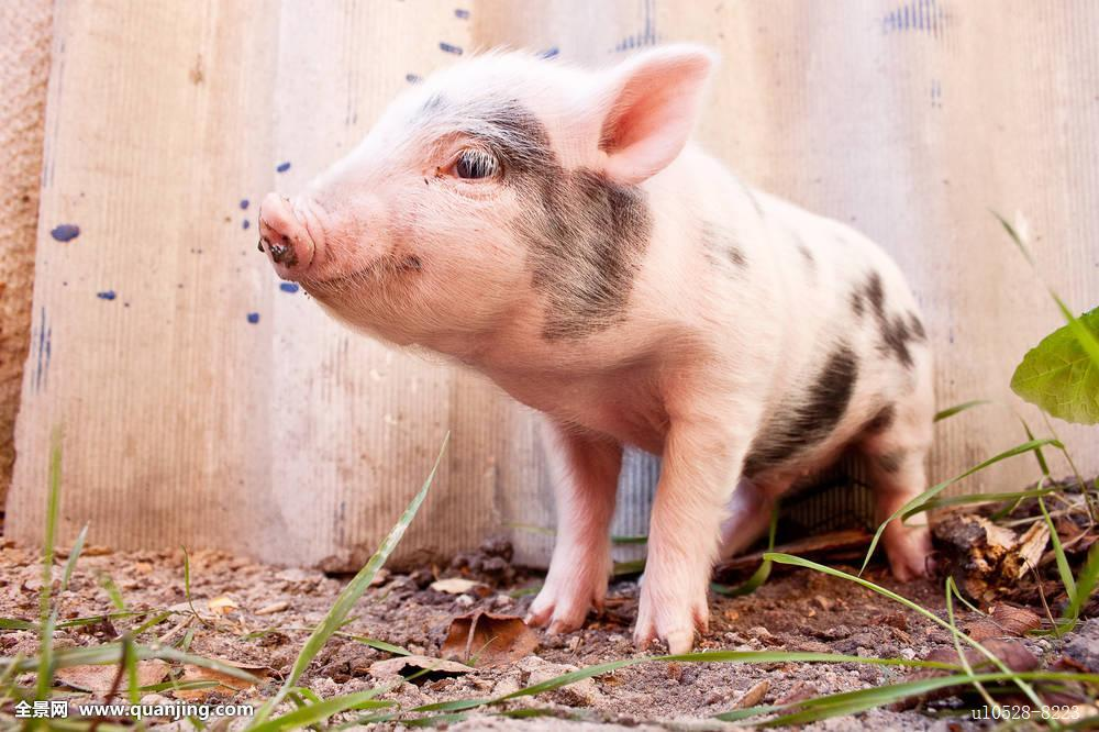 2017年12月13日(20至30公斤)仔猪价格行情走势