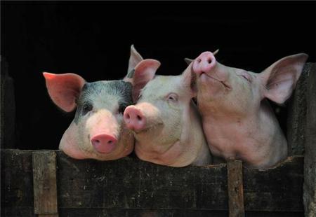 销售旺季+惜售心理助猪价上涨 但养殖户要懂得解压风险