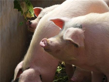 农业部、养殖户、分析师都说还有涨,那猪价到底能涨多少?
