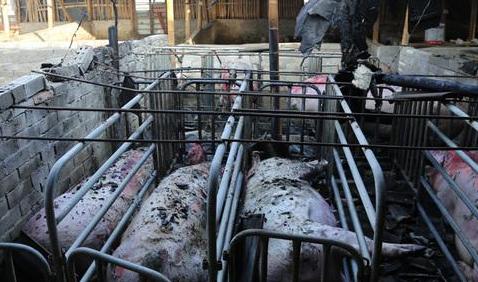 养猪场起火!290头未满月猪宝宝和17头临产猪被烧死
