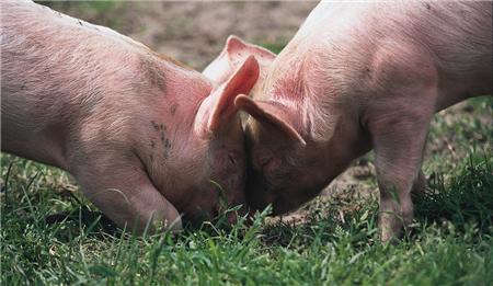 猪价围绕14.9元/公斤持续震荡 北方地区生猪结算价或再次赶超南方