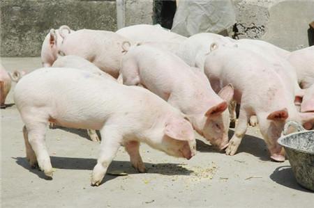 明年猪价会是如何走势?会比今年的价格高吗?