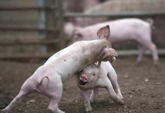 白酒不仅养猪人的美味,更是治疗猪病的好帮手!