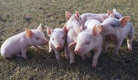猪体表发白,原因竟然这么多?