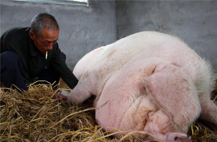 村民想宰杀1吨多重猪王,每次都因神秘女子吓得不敢动手