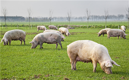 真正让农村养猪场走向灭亡的原因,并不是环保禁养政策!