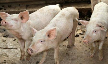 如何防控猪的链球菌病?