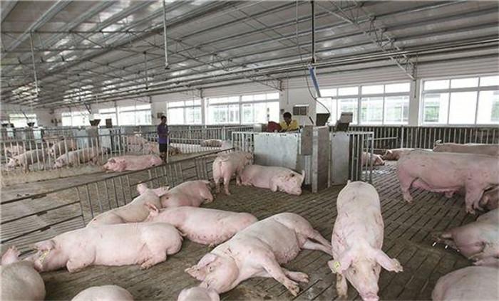 楼上楼下猪、粪分家,农村的懒汉养猪还有升级版