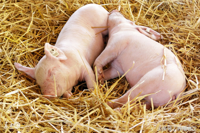仔猪为什么容易生病?看完这三点,你就明白了!