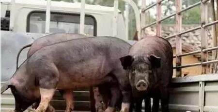 猪场700头猪却猪贩被骗走,血本无归……
