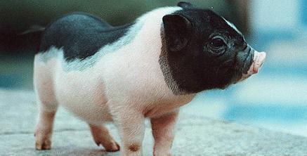 猪价有明显利好因素 养殖户不用急于抛售
