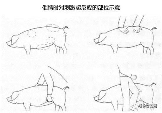 批次生产中空怀母猪的催情程序