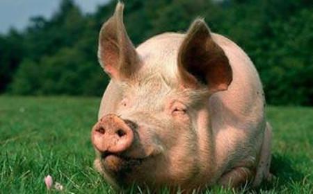 到底应该给猪喂干粉料、湿拌料还是颗粒料?