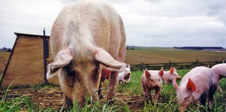 券商调研:未来三年,4000万产能淘汰力挺猪价?