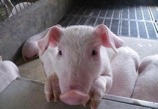 2018年您还养猪吗?了解下趋势和风险!