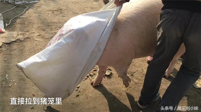 如何轻松驾驭1头三四百斤重的猪?农民有妙招,1个袋子就搞定!