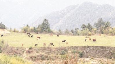 养猪新模式:大山当畜圈,猪牛羊满山跑!