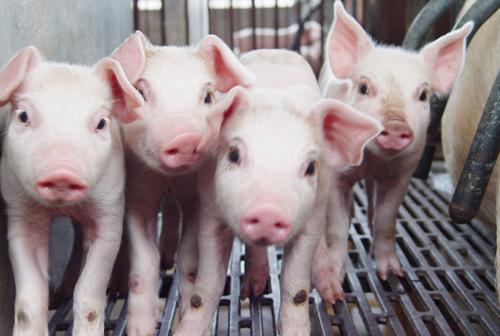新增大型企业外购仔猪数量偏大 仔猪供应略显偏紧