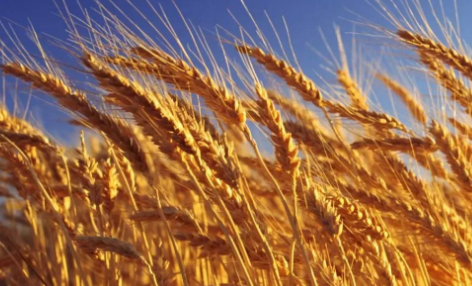 小麦价格面临2017年最后的终极考验 是涨是跌看分析!