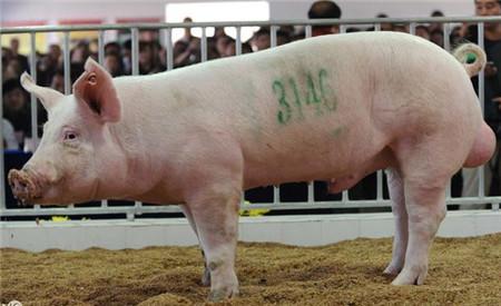 养猪场从外地引钱柜娱乐777官网需要注意什么?