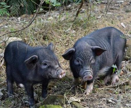 每年免费送猪1头,连送3年,母猪真的会飞了!这个商业模式火了!