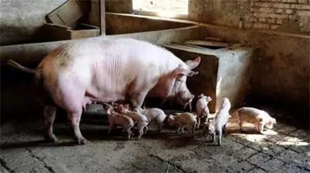 3个不花钱的小妙招,母猪护理全靠它了