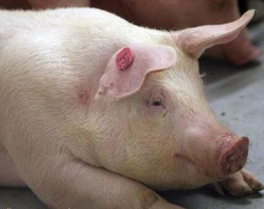 这么多治疗冬季猪呼吸道疾病的良方,您不看看?!