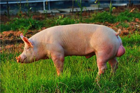 养猪场的公猪阉割要点,阉猪的完整过程快来学
