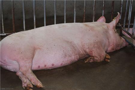 妊娠母猪过肥引起难产,太瘦产的小猪弱!