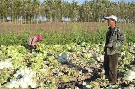 给猪喂腐烂的菜叶子中毒了?怎么办?