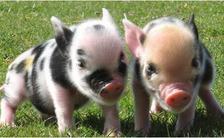 假死猪原来是这样救的,否则就真死了