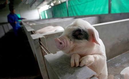 农村养猪人看了这些消息,感叹道:散养户没前途了!