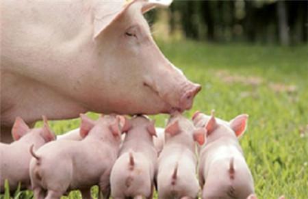 可爱小猪仔高清照片