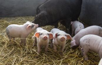你会养猪吗?哺乳母猪,仔猪的管理误区,养猪人必知!