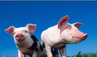 根据近几日天气预报显示,气温也是在逐渐的降低,部分地区的气温已经降到了0°C以下,气温的下降不仅影响生猪正常生长,还会引起肠道、呼吸道等疾病。