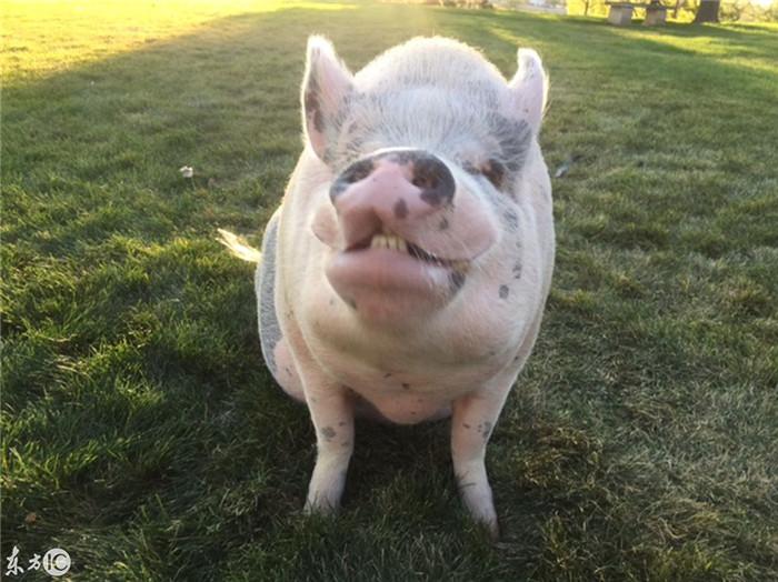 Kristin Hartness、Jay Yontz及他们的宠物猪Ziggy之前住在美属维尔京群岛,租了多年的房子被卖后