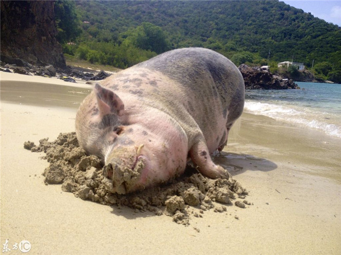 他们再也找不到一个房东能够接受这头250磅的猪房客